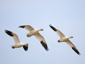 The Skagit Valley is the wintering grounds for 60,000 Snow Geese from Russia. Photo Credit Karen Ulvestad
