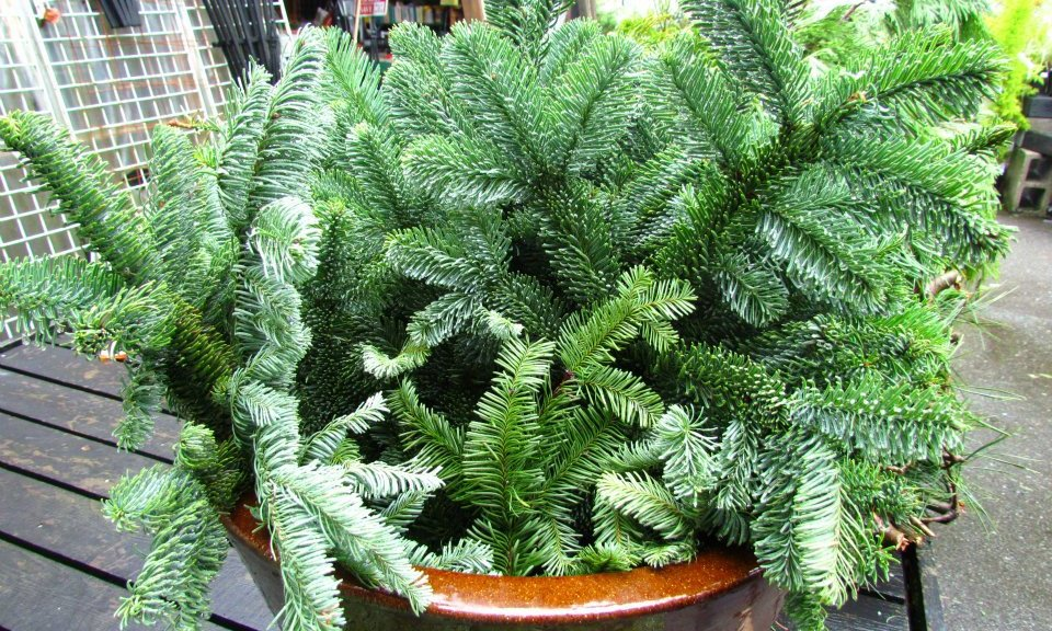 Plantable Christmas Tree.Best Places To Buy Living Christmas Trees Cbs Seattle